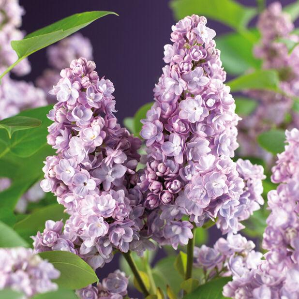 Syringa vulgaris Michel Buchner 40-60 4,5L violett
