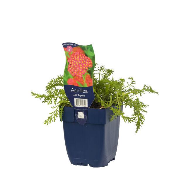 Punakärsämö 'Paprika', Korkeus 15 cm, Punainen