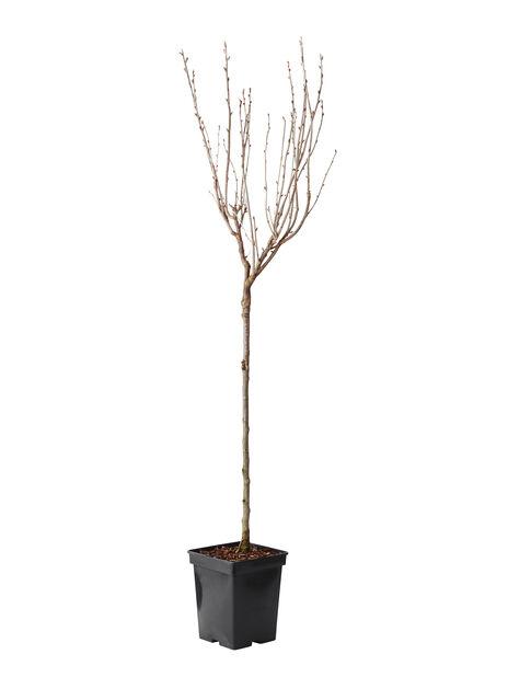 Rungollinen herukkakarviainen, Korkeus 60 cm, Musta
