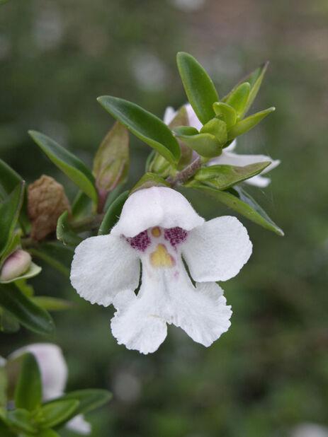Ritvaminttu, Korkeus 20-30 cm, Valkoinen