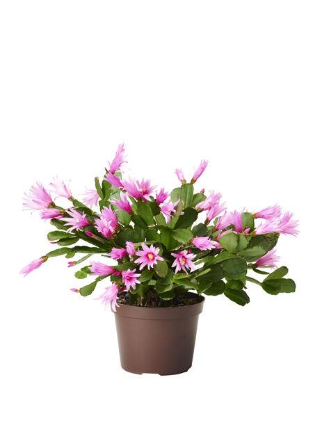 Kevätkaktus, Ø12 cm, Useita värejä