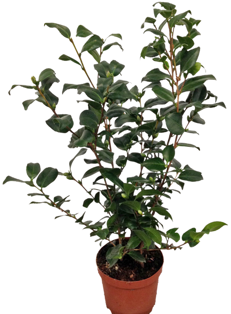 Kamelia, Ø19 cm, Useita värejä