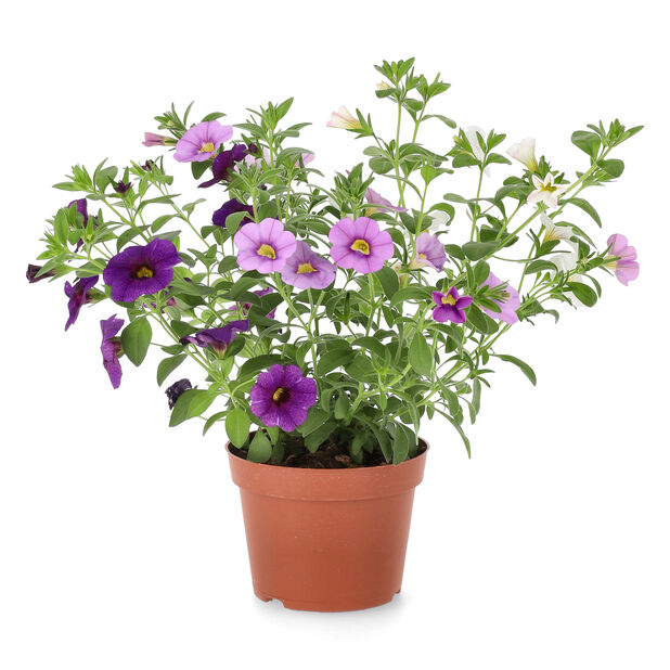 Pikkupetunia, Ø12 cm, Violetti