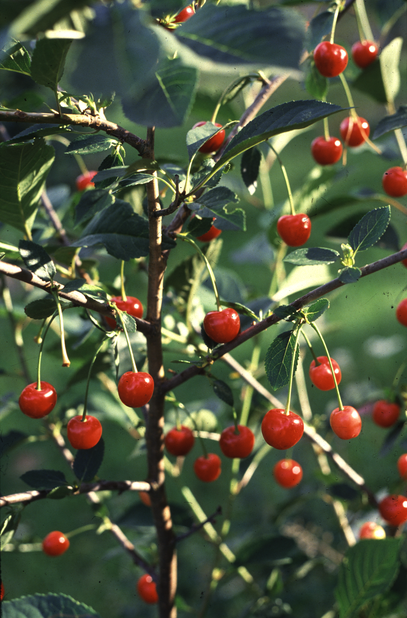 Kirsikka 'Sikkolankirsikka', Korkeus 180 cm, Valkoinen