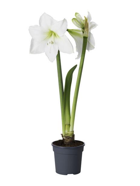 Amaryllis 2-vanainen valkoinen 13 cm