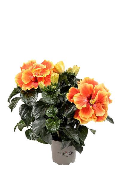 Kiinanruusu 'Apollo', Korkeus 25 cm, Oranssi