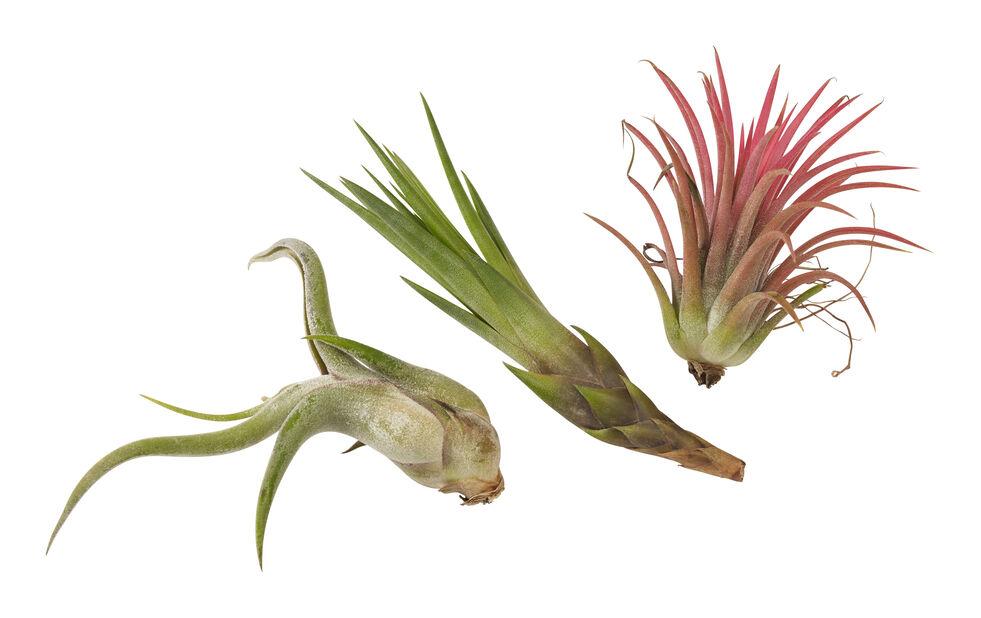 Tillandsia-lajitelma, Korkeus 15 cm, Vihreä