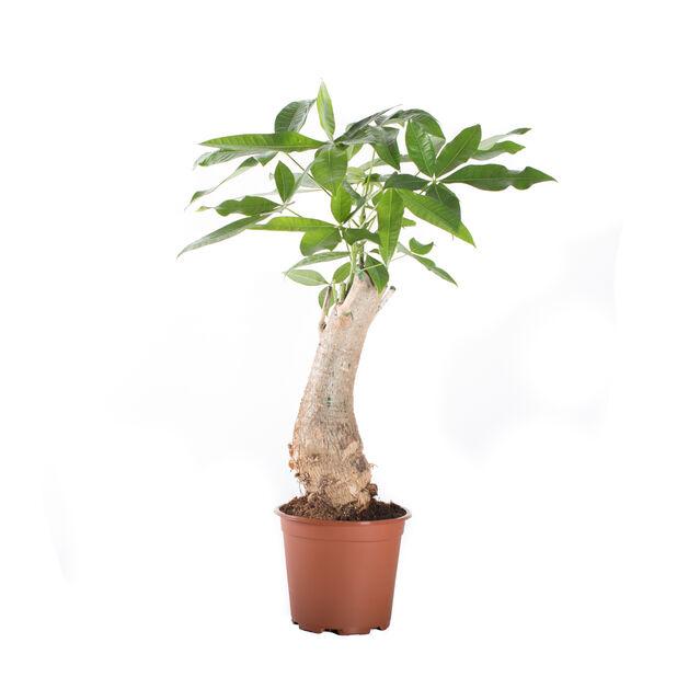 Pachira aquatica trunk 14 cm