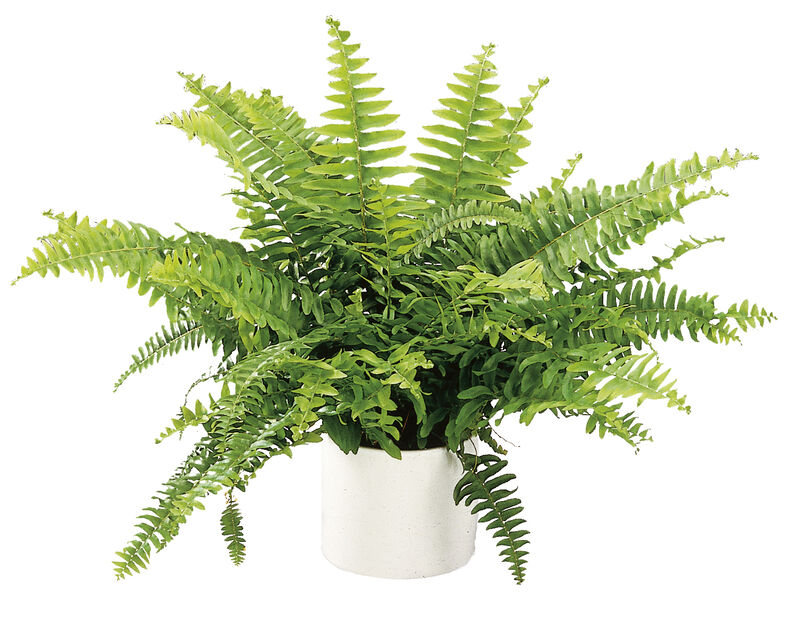 Kaarisulkasaniainen 'Green Lady', Korkeus 30 cm, Vihreä