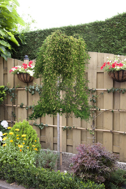 Caragana arborescens 'Pendula' stem, Korkeus 125 cm, Keltainen