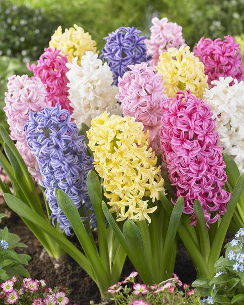 Hyacinthus mix, Useita värejä