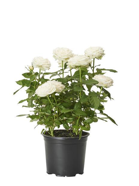 Ruukkuruusu , Korkeus 40 cm, Valkoinen