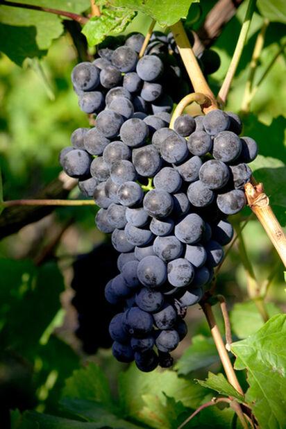 Viiniköynnös kehikossa