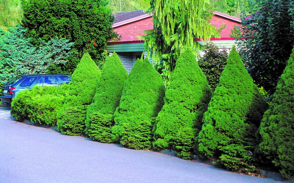 Kartiovalkokuusi, Korkeus 25-30 cm, Vihreä