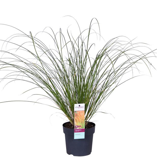Carex Prairie Fire 14 cm