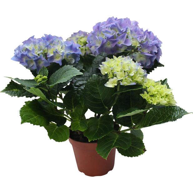 Hortensia , Korkeus 35 cm, Sininen