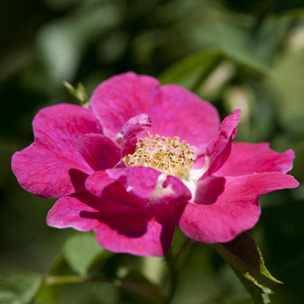 Tertturuusu 'Bee Friendly', Korkeus 20 cm, Pinkki
