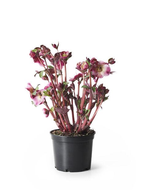 Jouluruusu 'Frostkiss', Ø15 cm, Useita värejä