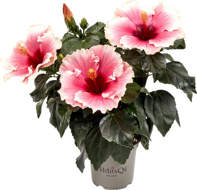Kiinanruusu, Korkeus 25 cm, Monivärinen