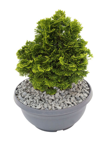 Japaninsypressi kulhossa 23 cm