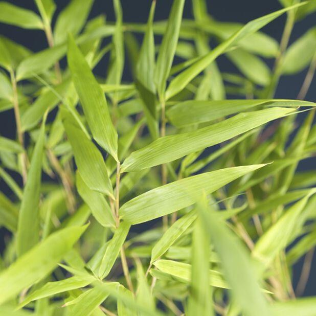 Vuoriruokobambu 5 L