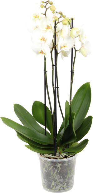 Perhosorkidea Giant, Korkeus 70 cm, Valkoinen