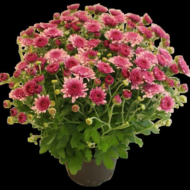 Pallokrysanteemi 'Amarena', Ø15 cm, Pinkki