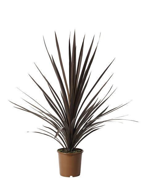 Viherliljapuu 'Red Star' 24 cm
