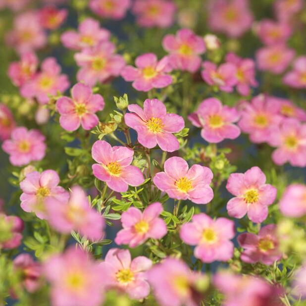 Pensashanhikki 'Pink Beauty' , Ø19 cm, Pinkki