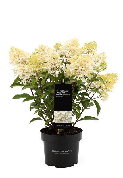 Syyshortensia 'Living Little Blossom', Ø23 cm, Valkoinen