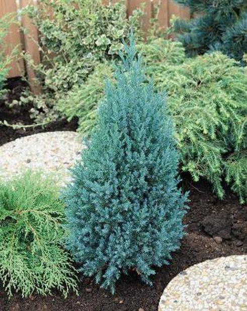Kiinankataja 'Stricta', Ø26 cm, Sininen