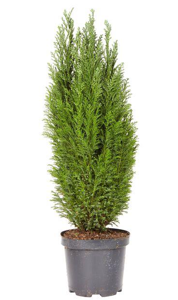 Sypressi Elwoodii 17 cm