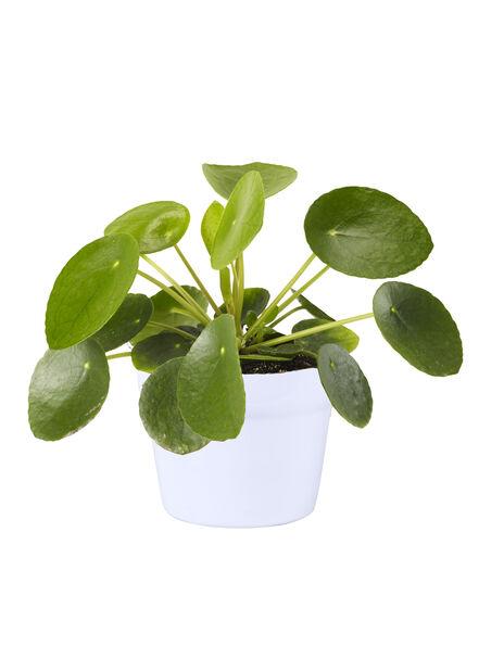 Kilpipiilea, Korkeus 25 cm, Vihreä