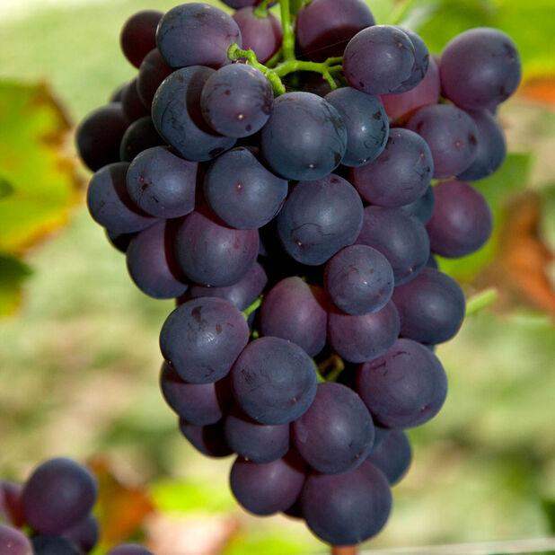 Viiniköynnös 'Spulga' , Ø17 cm, Punainen