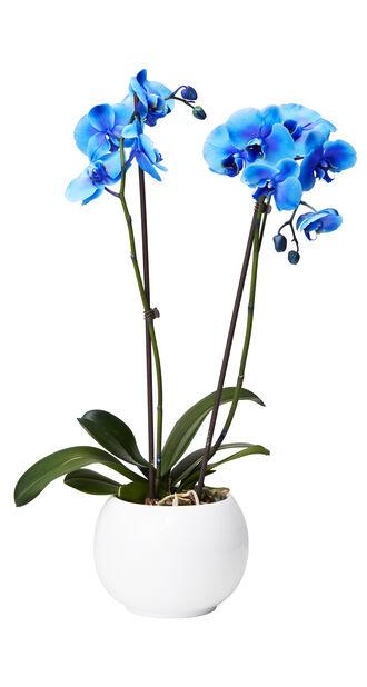 Perhosorkidea , Korkeus 60 cm, Sininen