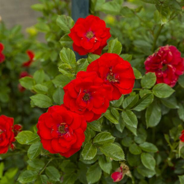 Köynnösruusu 'Jive', Korkeus 60-80 cm, Punainen