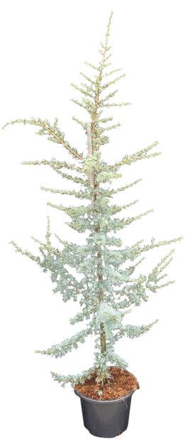 Libanoninsetri 30 cm