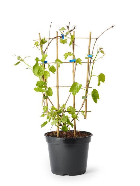 Vitis vinifera 'Spulga' kehikossa, Korkeus 85 cm, Vihreä