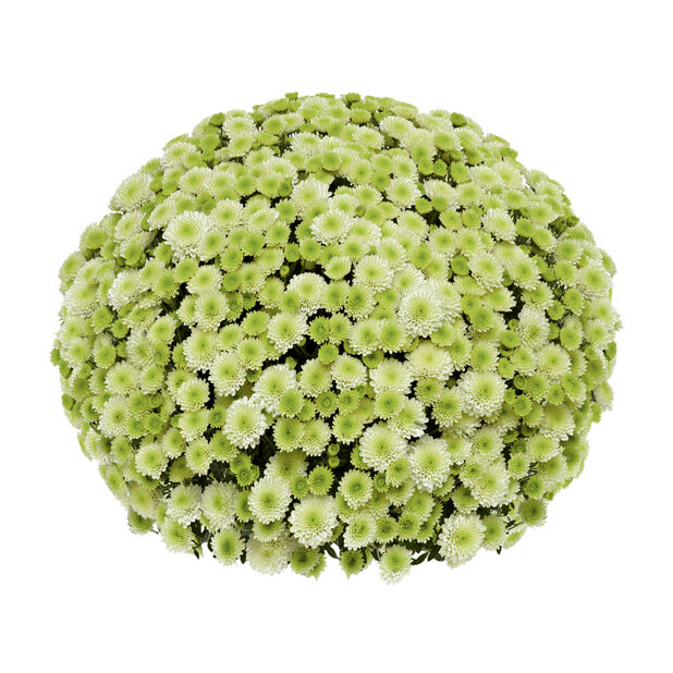 Pallokrysanteemi 'Primo Pistache', Ø19 cm, Valkoinen