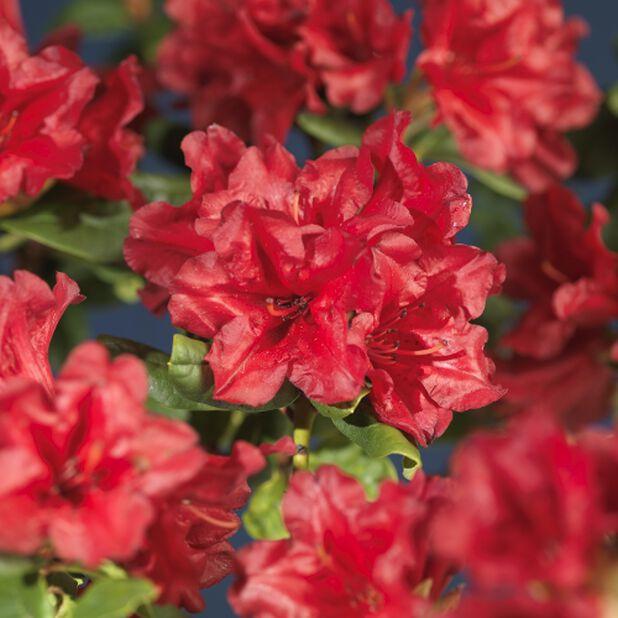 Kääpiöalppiruusu 'Scarlet Wonder', Ø17 cm, Punainen