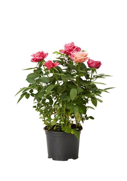 Ruukkuruusu , Korkeus 25 cm, Useita värejä