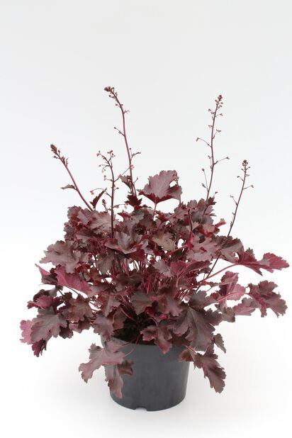 Keijunkukka 15 cm purppura