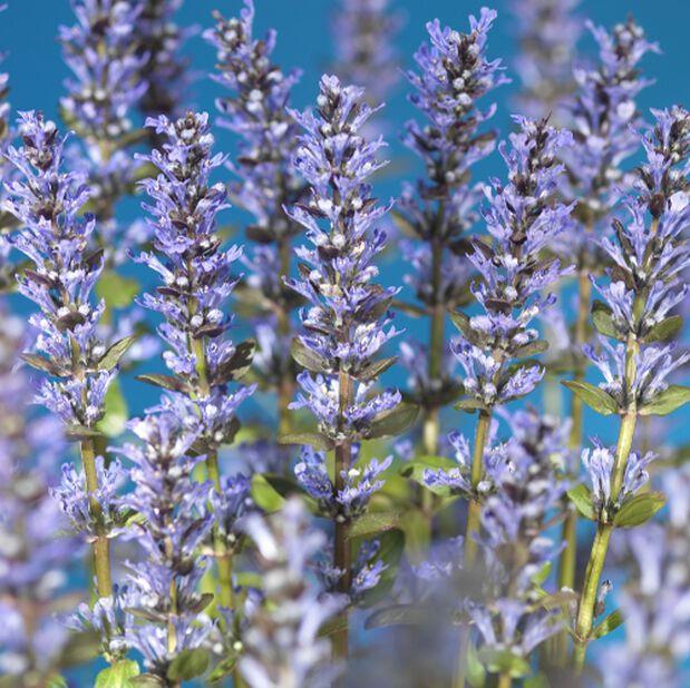 Rönsyakankaali 'Valfredda' 6-p, 6 kpl, Sininen
