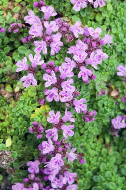 Ajuruoho , Korkeus 15 cm, Violetti