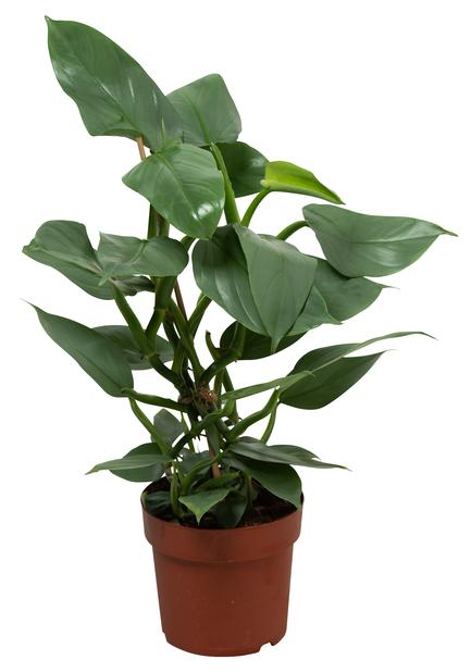 Philodendron Hastatum 17cm