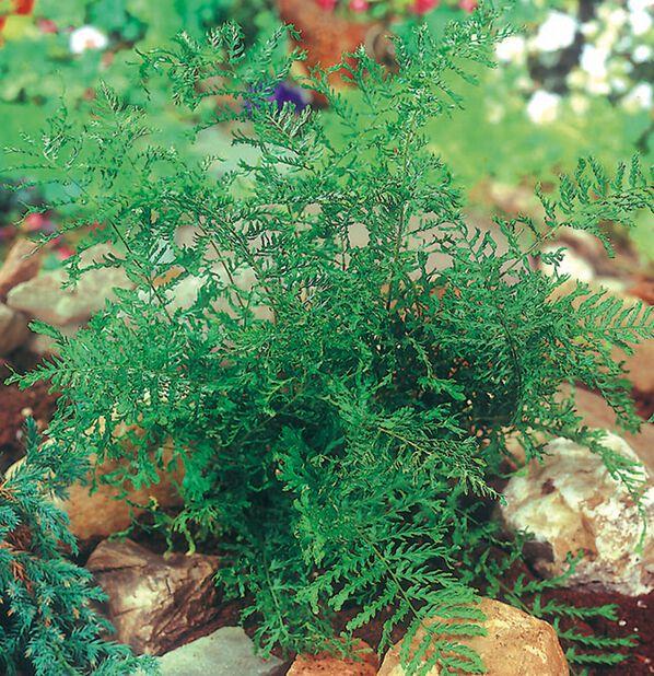 Kivikkoalvejuuri , Korkeus 15 cm, Vihreä
