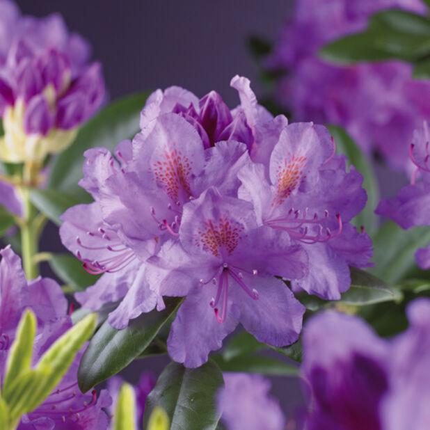 Puistoalppiruusu 'Grandiflorum' , Korkeus 30 cm, Violetti