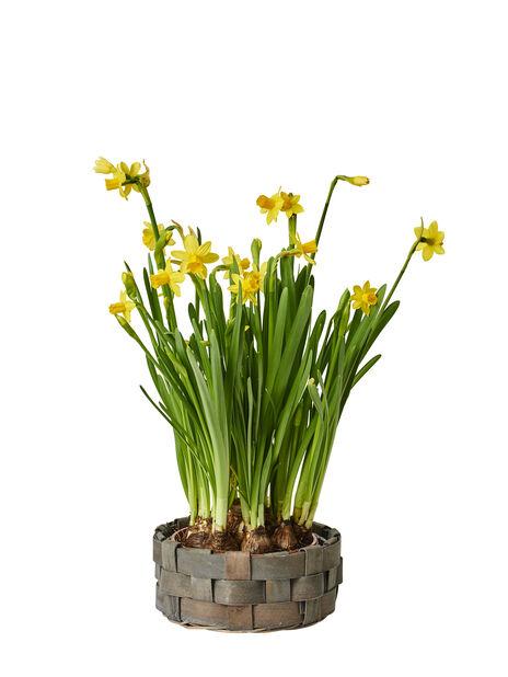 Kevätnarsissi 'Tete a Tete', Ø17 cm, Keltainen