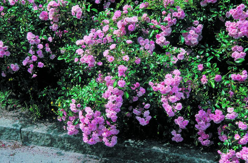 Rosa 'The Fairy'