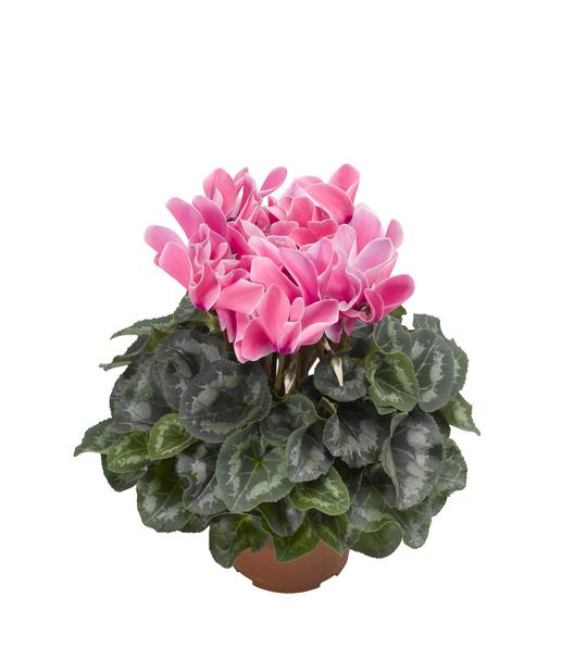 Syklaami, Ø12 cm, Pinkki